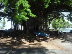 riesiger Banyanbaum in Hilo